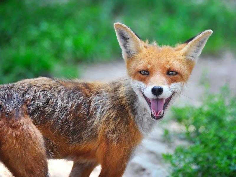 Worüber der junge Fuchs sich wohl so freut? – Bild: Shutterstock / Nataliia Melnychuk