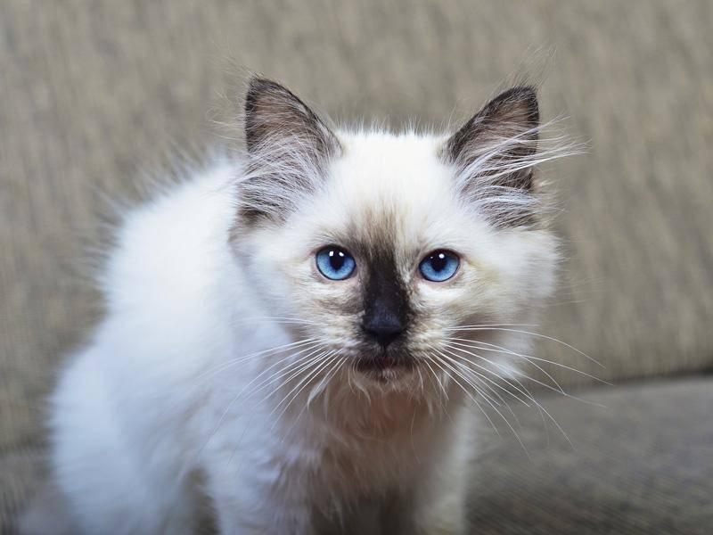 Die Ragdoll-Katze gilt als besonders lieb und freundlich – Bild: Shutterstock / trappy76