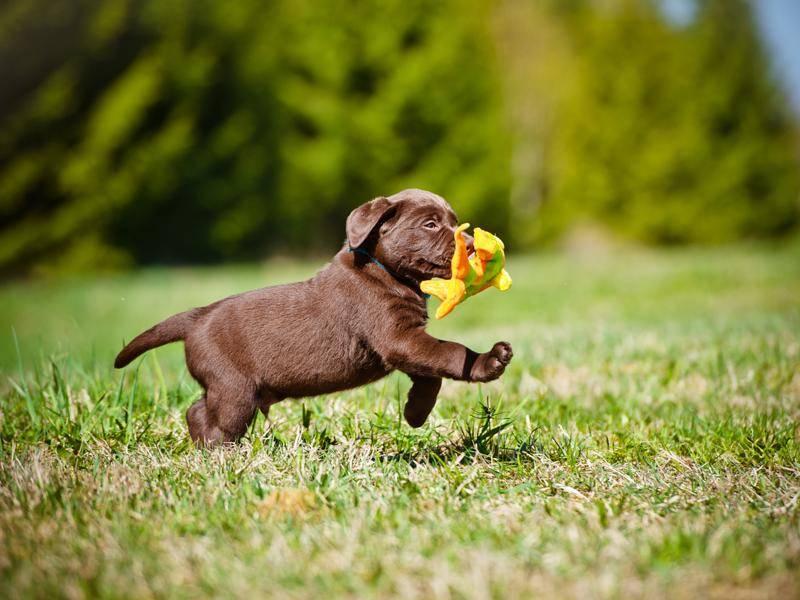 Draußen in der Sonne spielt es sich am besten, findet der süße Mini-Labrador – Bild: Shutterstock / otsphoto