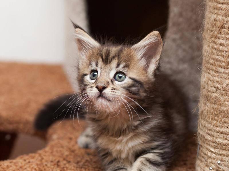 Als Kitten sieht sie aber unglaublich niedlich und tapsig aus! – Bild: Shutterstock / dkphoto24