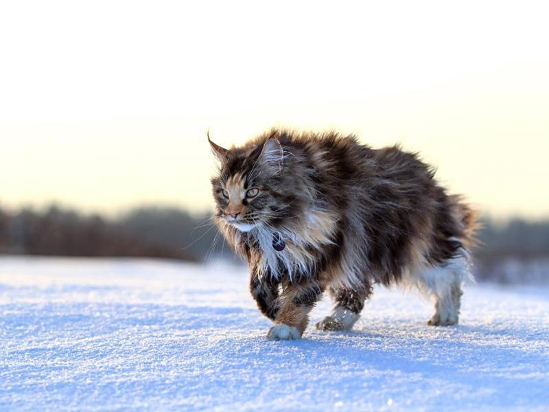 Die Maine-Coon-Katze kann ausgewachsen bis zu zwölf Kilo auf die Waage bringen – Bild: Shutterstock / DragoNika