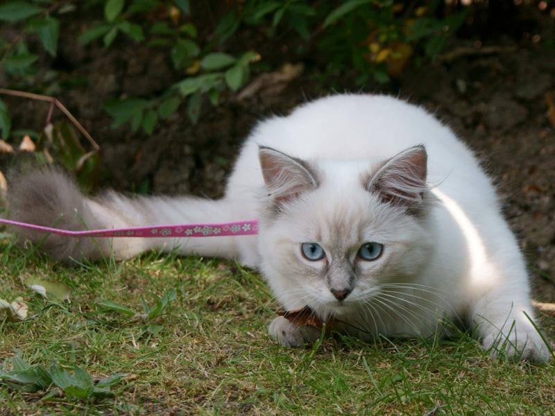 Die süße Ragdoll-Katze möchte viel beschäftigt werden – Bild: Shutterstock / Linn Currie
