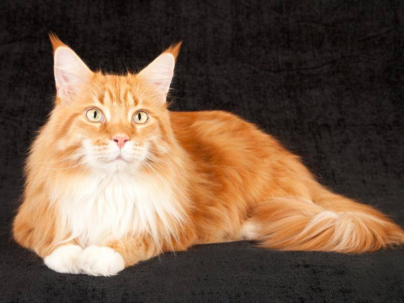 Auch mit rotem Fell sind die Vertreter dieser großen Katzenrasse wunderschön – Bild: Shutterstock / Linn Currie