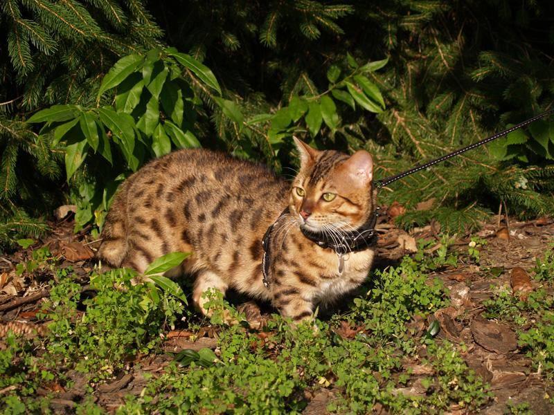 Die Savannah-Katze braucht viel Bewegung – Bild: Shutterstock / Lindasj22