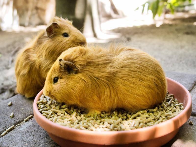 Den Meerschweinchen schmeckt's draußen eindeutig besser – Bild: Shutterstock / PhotoSky