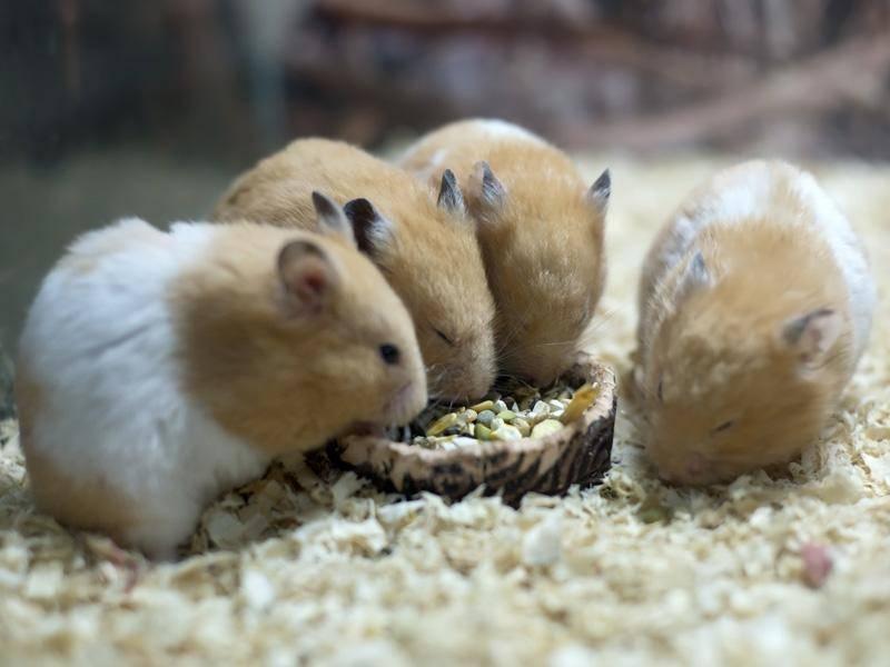 Das Wichtigste ist in den Augen der Hamster aber das gemeinsame Futtern, yummy! – Bild: Shutterstock / LIUSHENGFILM