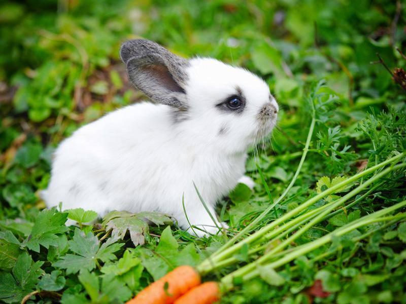Aber Möhren schmecken doch auch so gut, findet das kleine Kaninchen – Bild: Shutterstock / Nataliia Melnychuk