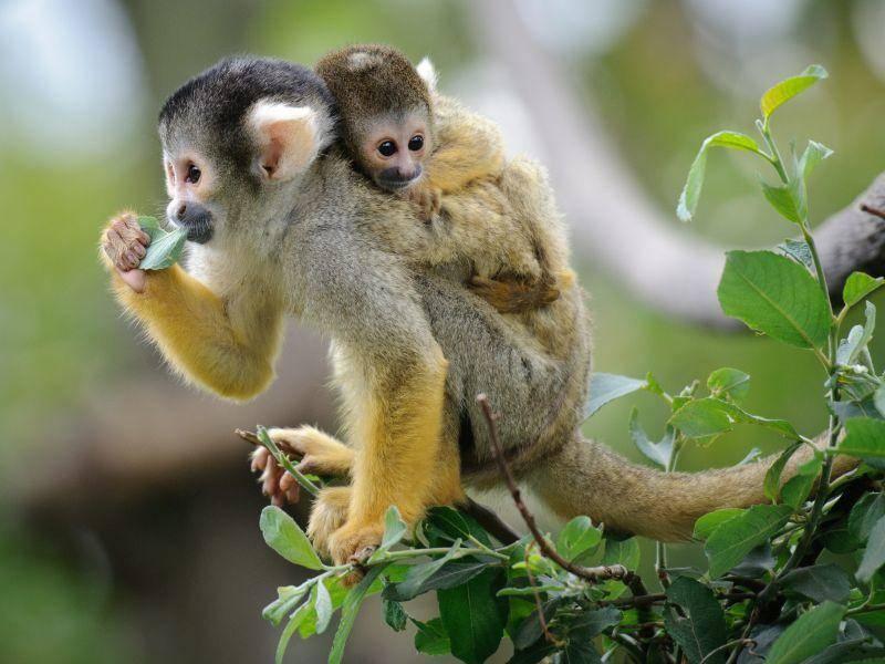 Tierisch süß: Zwei Kuscheläffchen – Bild: Shutterstock / Anna Kucherova