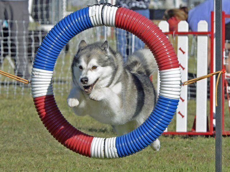 Er braucht viel Bewegung und ist ein hervorragender Sportler – Bild: Shutterstock / Lois McCleary
