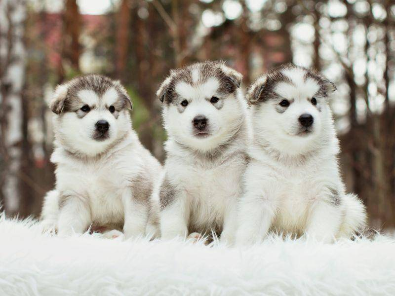 Das Fell des Hundes ist lang, dick und wetterfest – Bild: Shutterstock / Kuzmin Pavel