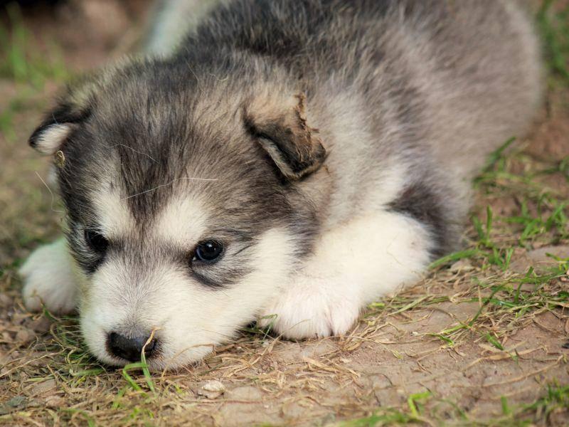 Ausruhen nach dem Spaziergang: Ein süßer Alaskan-Malamute-Welpe – Bild: Shutterstock / Ivan Milankovi