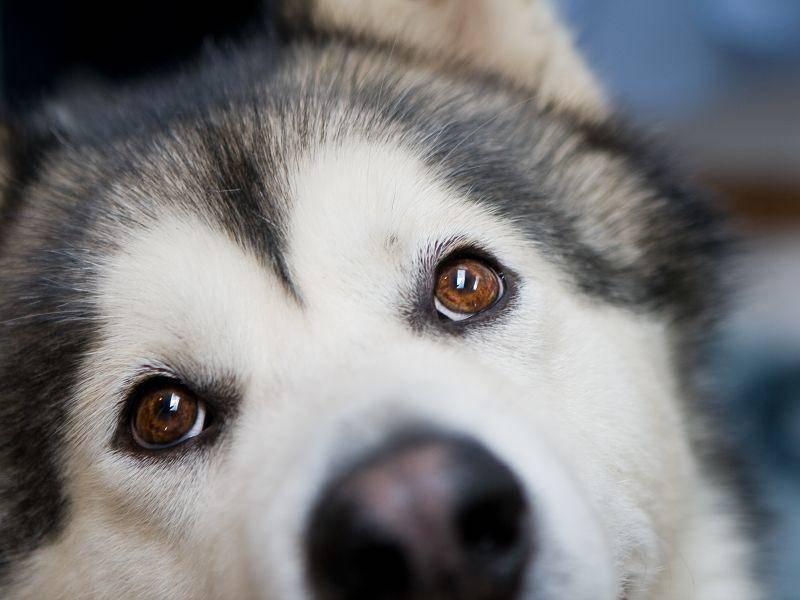 Der Charakter des Alaskan Malamute ist gutmütig, allerdings kann er ein wenig dickköpfig sein – Bild: Shutterstock / Ivan Milankovic