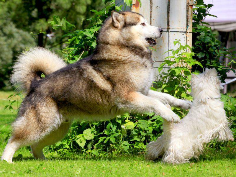 Spielen mit Kumpels? Das macht der Alaskan Malamute gern! – Bild: Shutterstock / Marina Jay