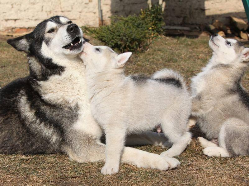 Im Gegensatz zum Husky hat der Alaskan Malamute keine blauen Augen – Bild: Shutterstock / Zuzule