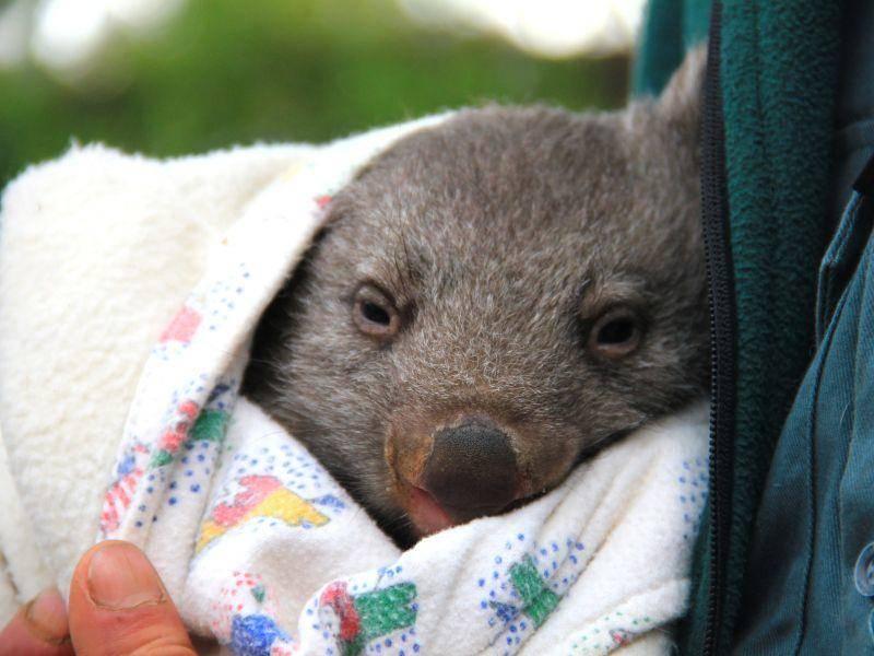 Und zum Schlus: Ein kleiner Kuschelwombat! – Bild: Shutterstock / Flash-ka