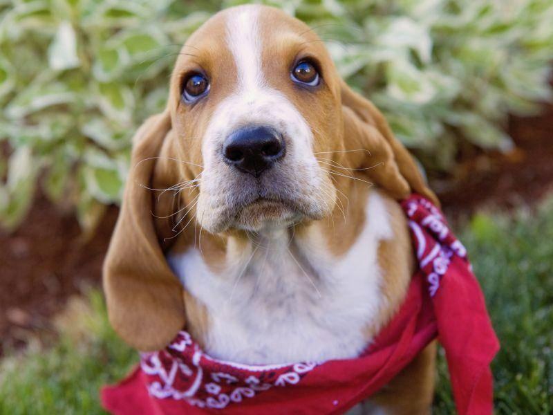Allergie, Bronchitis, Erkältung: Husten beim Hund kann verschiedene Ursachen haben — Bild: Shutterstock / Robynrg