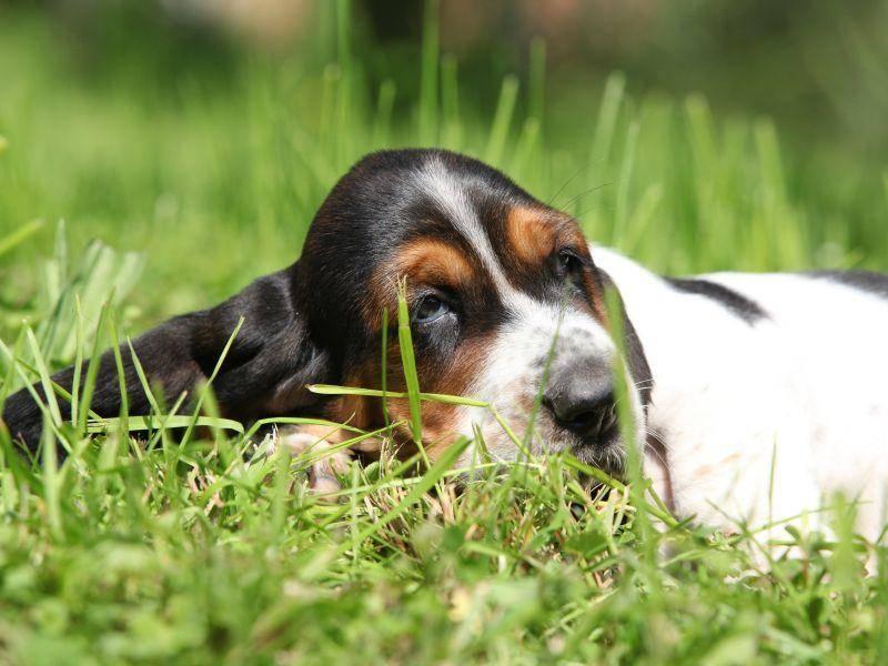 Müde nach einem langen Spaziergang: Ein süßer Basset Hound – Bild: Shutterstock / Zuzule