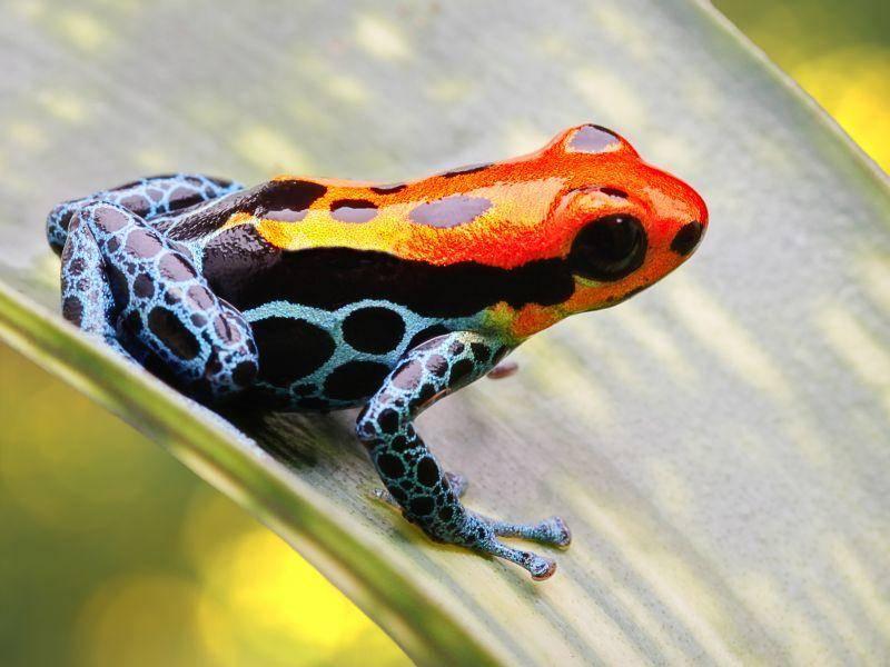 Vorsicht giftig: Der Baumsteigerfrosch ist an seiner bunten Färbung erkennbar – Bild: Shutterstock / Dirk Ercken