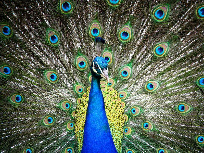 Der blaue Pfau: Ein prächtiger und sehr bunter Ziervogel – Bild: Shutterstock / CoolR