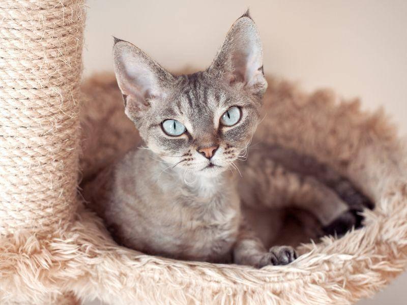 Die neugierige Devon Rex Katze wird ausgewachsen zwischen zwei und vier Kilogramm schwer – Bild: Shutterstock / Veera