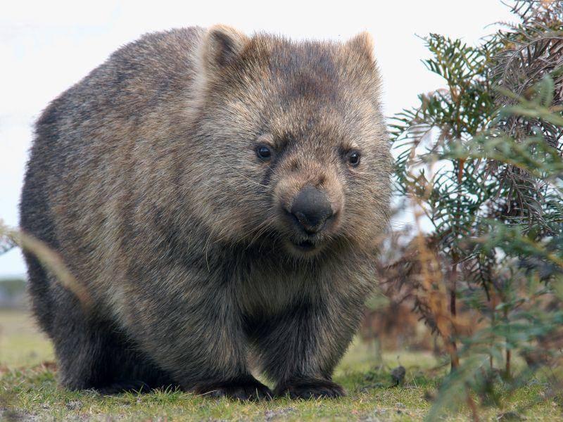 Man sieht es ihm nicht an, aber der Wombat kann bis zu 40 km/h auf kurzen Strecken erreichen – Bild: Shutterstock / Marco-Tomasini