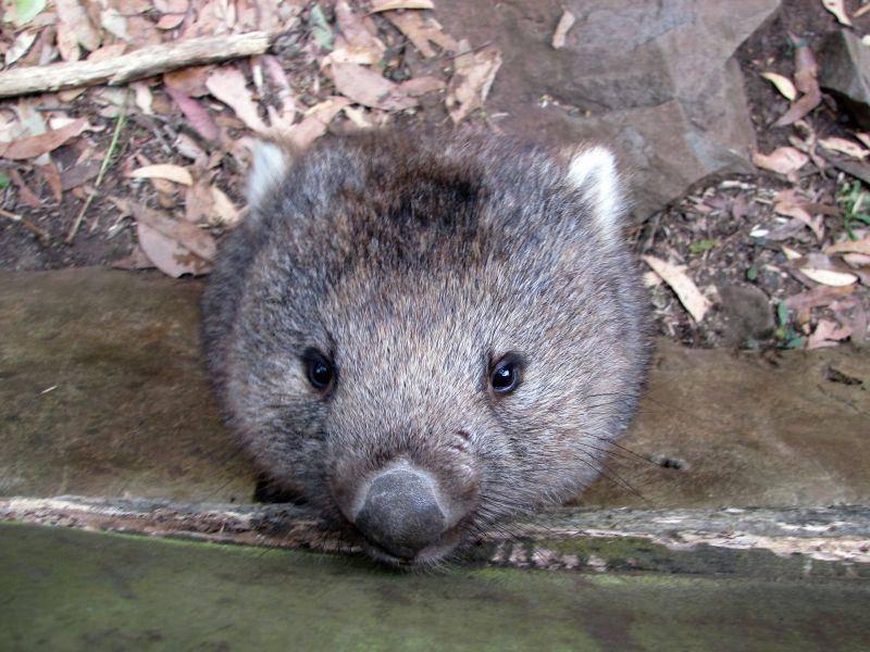 Dieser Wombat ist noch klein – ausgewachsen wird er mal eine Größe von 70 bis 120 Zentimetern erreichen – Bild: Shutterstock / Susan Flashman