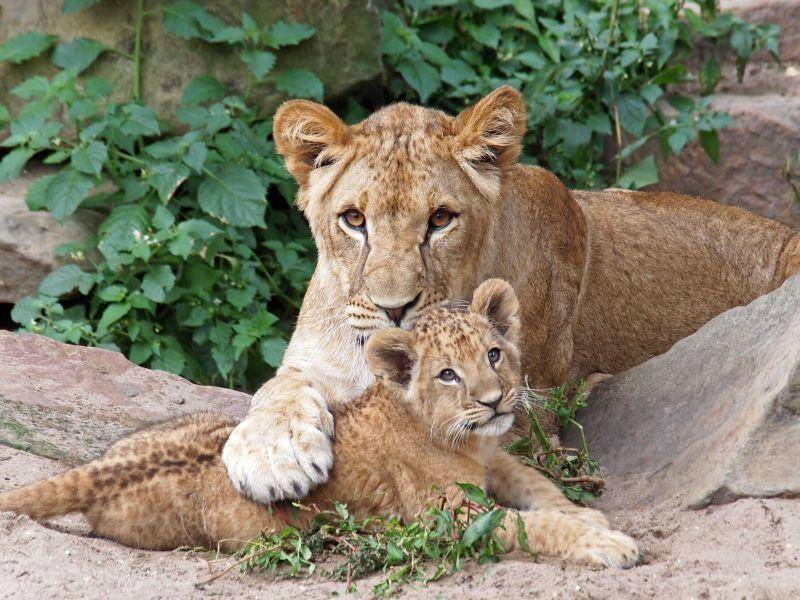 """""""Ich pass auf dich auf!"""" Eine süße Löwenfamilie – Bild: Shutterstock / EBFoto"""