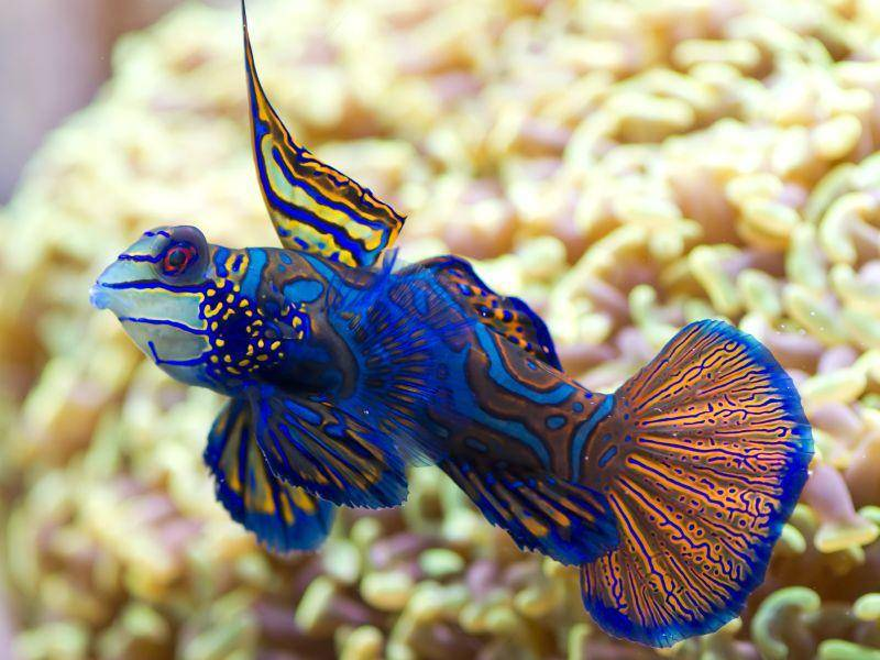 Dieser bunte Meeresbewohner heißt Mandarinfisch – Bild: Shutterstock / Dobermaraner