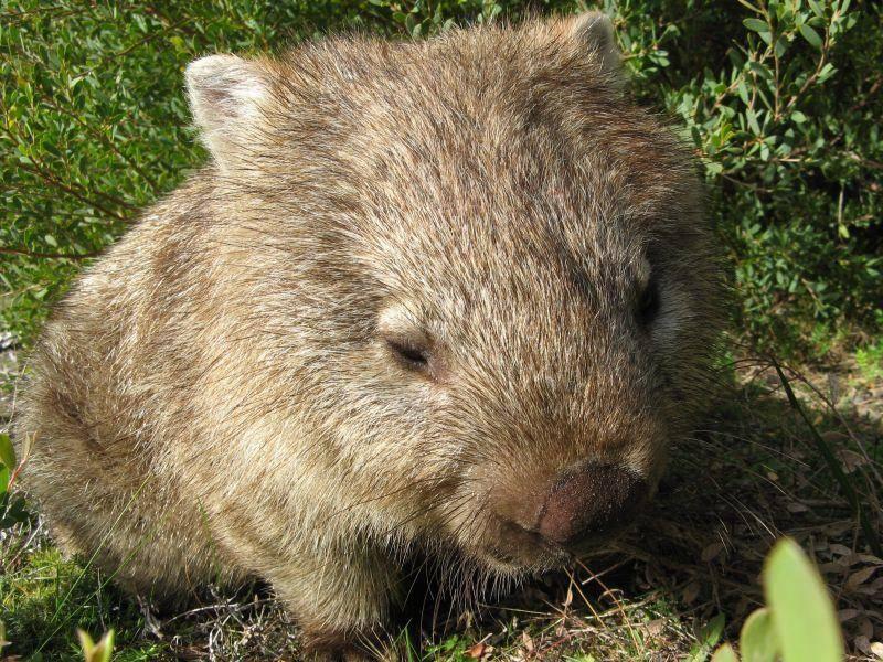 Dieser süße Wombat döst ein bisschen in der Sonne – Bild: Shutterstock / Robyn Butler