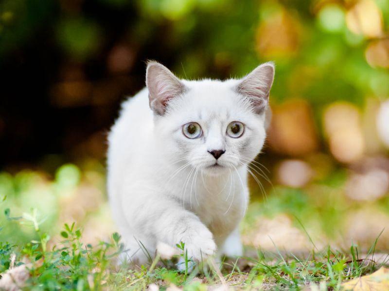 Und auch die Munchkin ist eine zarte, kleine Katze – Bild: Shutterstock / otsphoto