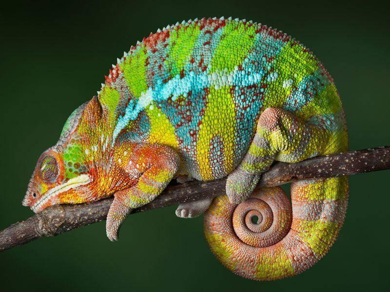 Das Pantherchamäleon aus Madagaskar kommt in den buntesten Farben vor – Bild: Shutterstock / Cathy Keifer