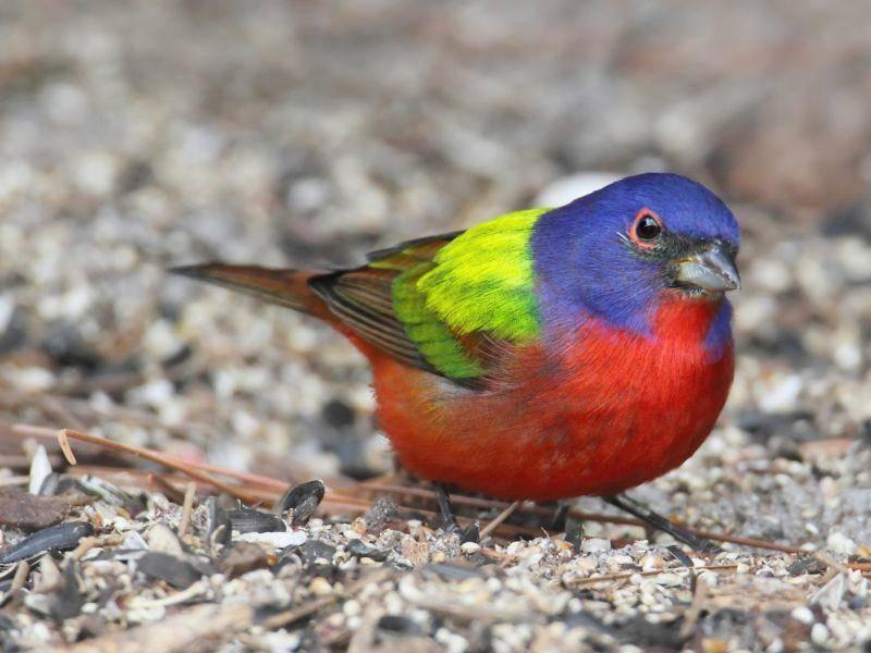 Der Papstfink gehört zu den nordamerikanischen Singvögeln – Bild: Shutterstock / Steve-Byland