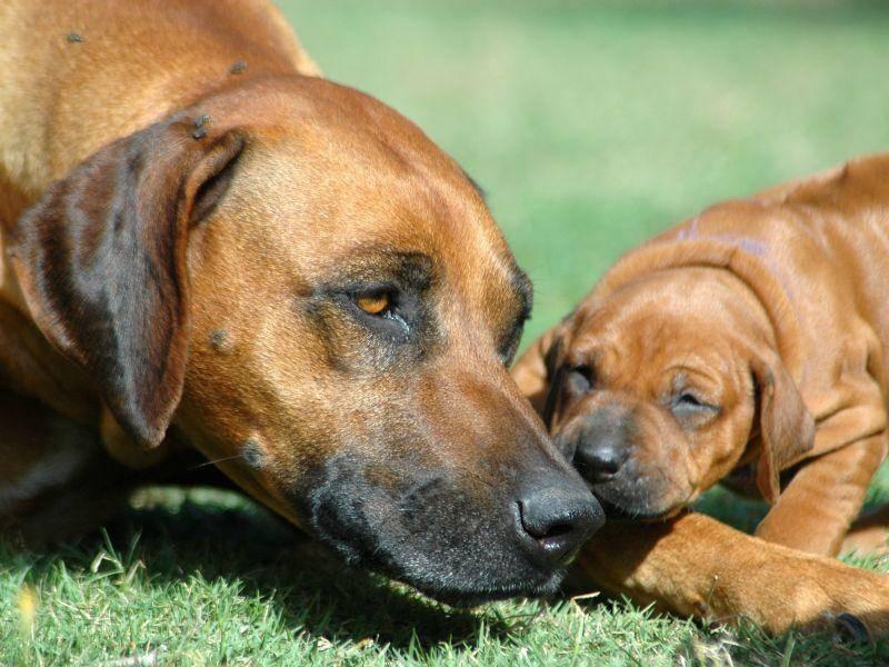 Ein Rhodesian Ridgeback Welpe beim Kuscheln mit seiner Hundemama – Bild: Shutterstock / Anke van Wyk