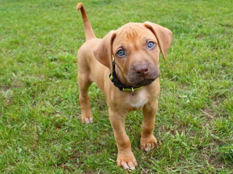 Den süßen Hundeblick beherrscht der Rhodesian Ridgeback einwandfrei! – Bild: Shutterstock / Nick Chase 68