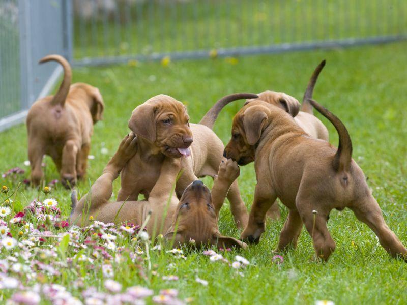 Beim Spielen mit den Geschwistern lernen Rhodesian Ridgeback Welpen eine Menge über Sozialverhalten – Bild: Shutterstock / nancy dressel