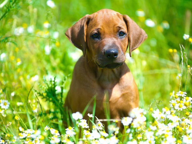 Schon als Junghund ist der Rhodesian Ridgeback ein großer Fan von tollen Spaziergängen – Bild: Shutterstock / Tatiana Katsai
