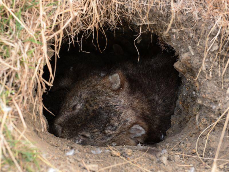 Wombats sind am liebsten nachts unterwegs. Am Tag findet man sie in ihrem Bau – Bild: Shutterstock / Cherry Mnitan