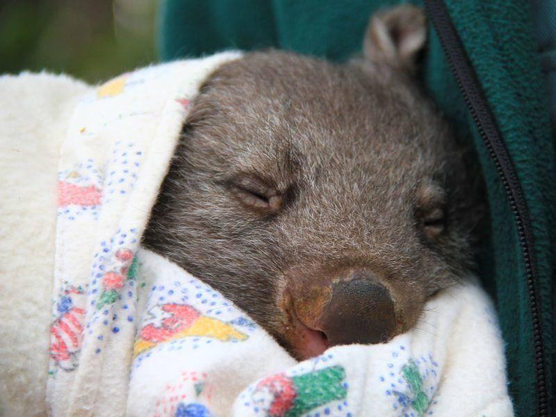 Kleiner Findel-Wombat macht ein Schläfchen – Bild: Shutterstock / Flash-ka