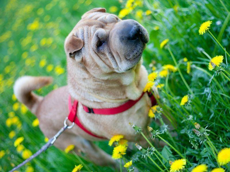 Anderen Hunden begegnet er manchmal dominant – Bild: Shutterstock / Istvan Csak