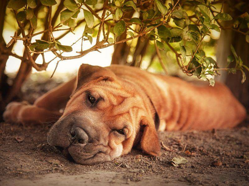 Das Fell des Shar-Peis ist kurz und pflegeleicht – Bild: Shutterstock / Jane Rix