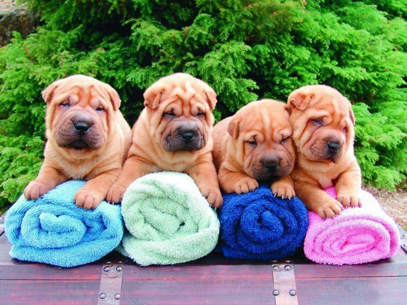 Shar-Pei-Welpen sind faltiger als erwachsene Hunde dieser Rasse – Bild: Shutterstock / pixshots