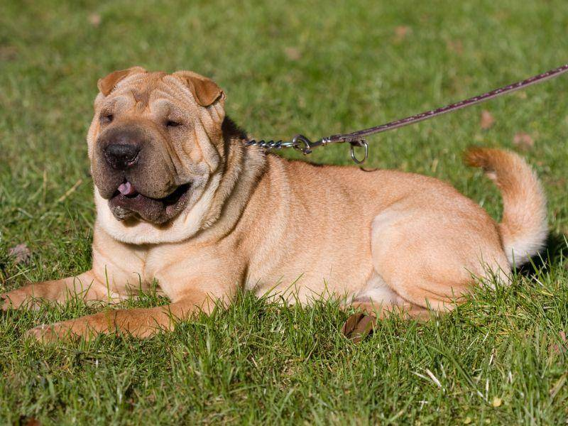 Rund 51 cm Stockmaß erreicht der Hund, wenn er ausgewachsen ist – Bild: Shutterstock / Istvan Csak