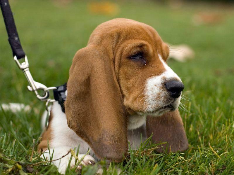Nicht zu vergessen beim Spaziergang mit dem Basset Hound: Sein Jagdtrieb – Bild: Shutterstock / Sean MacLeay