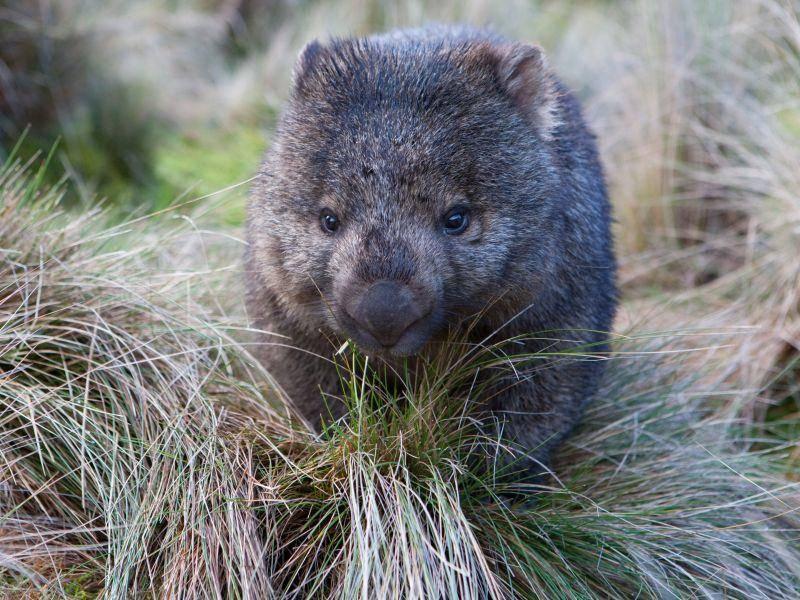 In den Abendstunden wird erst mal gegrast: Der Wombat futtert am liebsten Gräser und einige Pflanzen – Bild: Shutterstock / FiledIMAGE