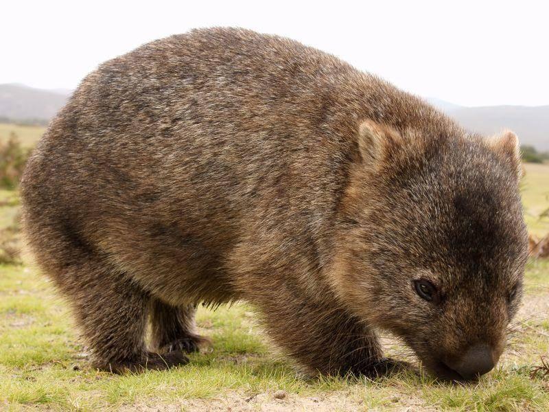 Wombats zählen zu den Beutelsäugern. Ihre Heimat ist das südliche und das östliche Australien – Bild: Shutterstock / Marco Tomasini