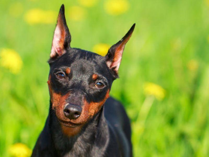 Süßer Hundeblick: Der Zwergpinscher ist ein freundliches Kerlchen – Bild: Shutterstock / DragoNika