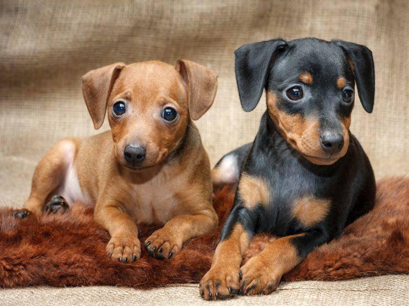Diese zwei kleinen Zwergpinscher posieren schon wie die ganz Großen – Bild: Shutterstock / PozitivStudija