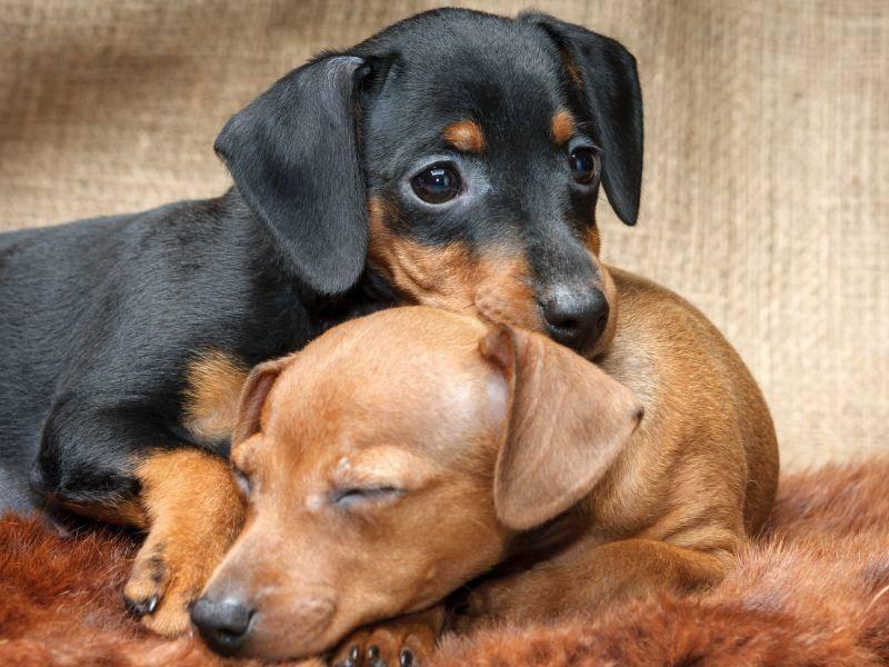 Es gibt ein- und zweifarbige Vertreter dieser Hunderasse – Bild: Shutterstock / PozitivStudijajpg