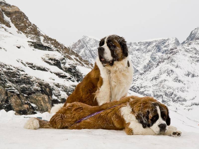 Früher waren die großen Schweizer vor allem Berg- und Rettungshunde – Bild: Shutterstock / K.-Kolygo