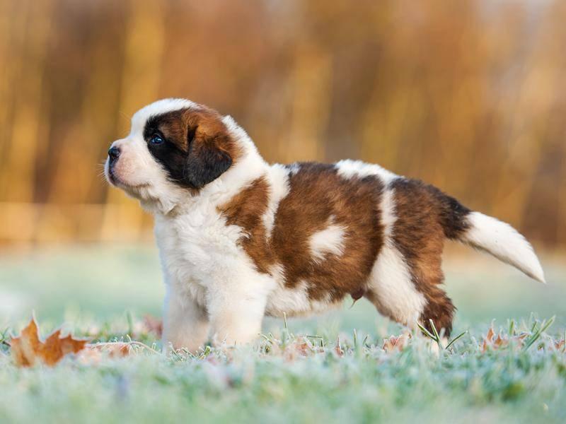 Ausgewachsen werden Bernhardiner bis zu 80 Kilogramm schwer – die Welpen sind allerdings sehr viel kleiner – Bild: Shutterstock / Rita Kochmarjova